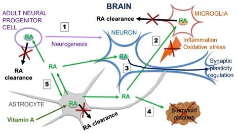 The human brain | Dermaxon